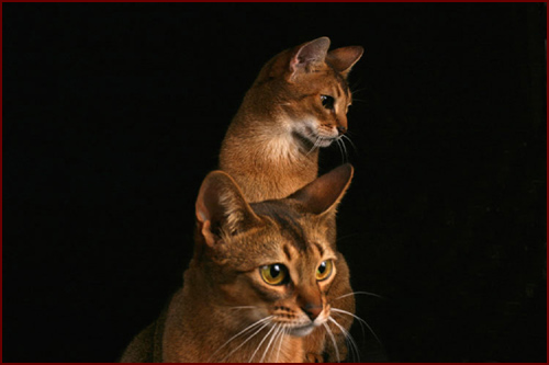 Abyssinian cat breeders in ontario